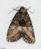 Cutworm moth (Neoligia subjuncta), #9412