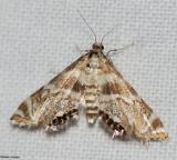Petrophila canadensis, #4779