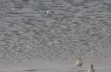 Possible Thayers Gull   11-11-2009 Duxbury Beach MA
