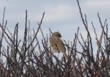 Ipswich Sparrow - Duxbury Beach MA   11-18-2009