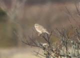 091118-g Ipswich Sparrow - DBCH.jpg