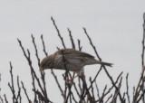 091118-h Ipswich Sparrow - DBCH.jpg