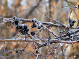 Frost-coated Berries