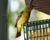 western tanager female yard bird
