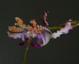 Schomburgkia thomsoniana, 5 cm