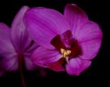 Spathoglottis portus finschii, flowers 3-4 cm