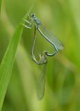 Blauwe breedschenen paringswiel