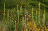 Stalkaars, Verbascum densiflorum