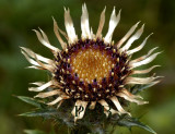 Driedistel, Carlina vulgaris, close