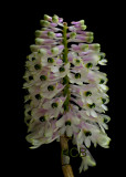 Dendrobium smillieae, flowers 1.3 cm