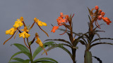 Habenaria xanthocheila               and                     Habenaria rhodocheila