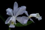 Cattleya loddigesii 'coerulea'