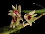 Dendrobium rigidum, flowers 12 mm