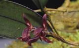 Trichosalpinx  blaisdelii, flowers 8 mm across
