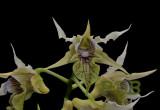 Dendrobium hodkinsonii
