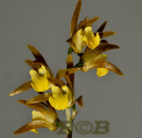 Tainia laxiflora, terrestrial orchid flowers 3-4 cm