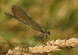 Female missing pseudopterostigma - vrouwtje, mist de witte vleugelvlekken