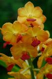 Ascocenda  Thai queen  Phrasong