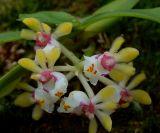 Gastrochilus somai, flowers 1 cm