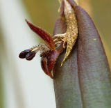 Myoxantus reymondii, flower 7 or 8 mm
