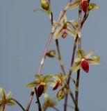 Platystele misera, height of flower 4.5-5 mm