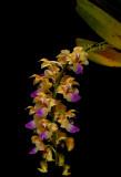 Aerides houlettiana, Ueang kulap Lueang Korat