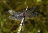 Noordse witsnuitlibel, Leucorrhinia rubicunda
