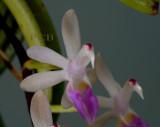 Cleisostoma ensifolia, close, flowers 1-1.3 cm