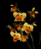 Dendrobium griffithianum,  Ueang Matcha Lueang, flowers 3 cm