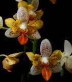 Phalaenopsis minimark, Error trhee lips...
