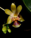Kingidium deliciosum 'hookeriana'  flower 12 mm
