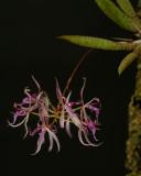 Macroclinium manabina, flowers 8 mm