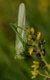 Grote groene sabelsprinkhaan man, 5 - 6 cm lengte