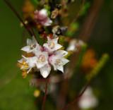 Duivelsnaaigaren, bloempjes 1 mm groot