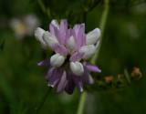 Bont kroonkruid, Coronilla varia