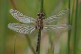 Venwitsnuit vrouw met nog verse vleugels, Leucorrhinia dubia