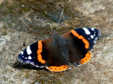 Red Admiral - A poor year for butterflies this year