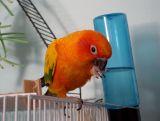 Parrot the Conure