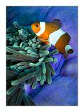 Percula on giant anemone