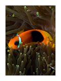 Lipe dusky clownfish