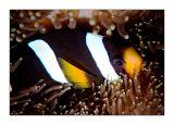 Clarke's clownfish in Phuket