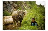 Cattle market in bac ha
