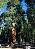 Walking Among Sequoias