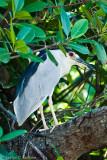 Black-Crowned Night Heron I (Nicticorax nicticorax)