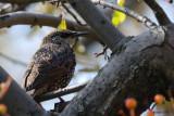 Étourneau sansonnet (Starling)