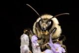 Bee on lavender 4819 (V68)