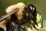 Bee on flower 4921 (V68)