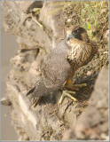 Young Peregrine on a cliff 39