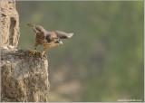 Peregrine Falcon Lift Off into the Mist 40