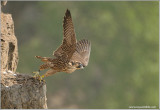 Peregrine Falcon Lift Off into the Mist 42